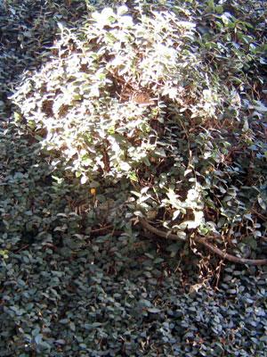 A colméia entre as ramas da unha-de-gato. Foto J.E.M.